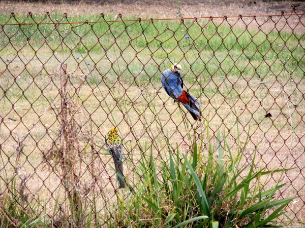 2 pale-eahed rosellas enjoying the blue berries on a dianella